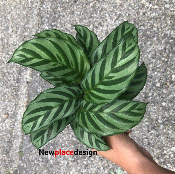 Calathea Concillo ' Freddie ' Non Toxic Houseplant - Air Purifying Houseplant