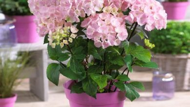 Flamingo Hydrangea, 2 Quart- Vibrant Pink Blooms on Contrasting Black Stems
