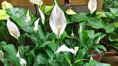 Peace Lily Plant Care Guide: How To Grow A Peace Lily