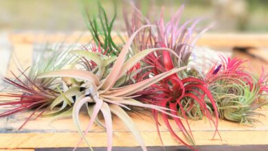 Wholesale Special: Premium Air Plant Grab Bag of Medium & Large Tillandsia|Free Shipping [Min Order 36]